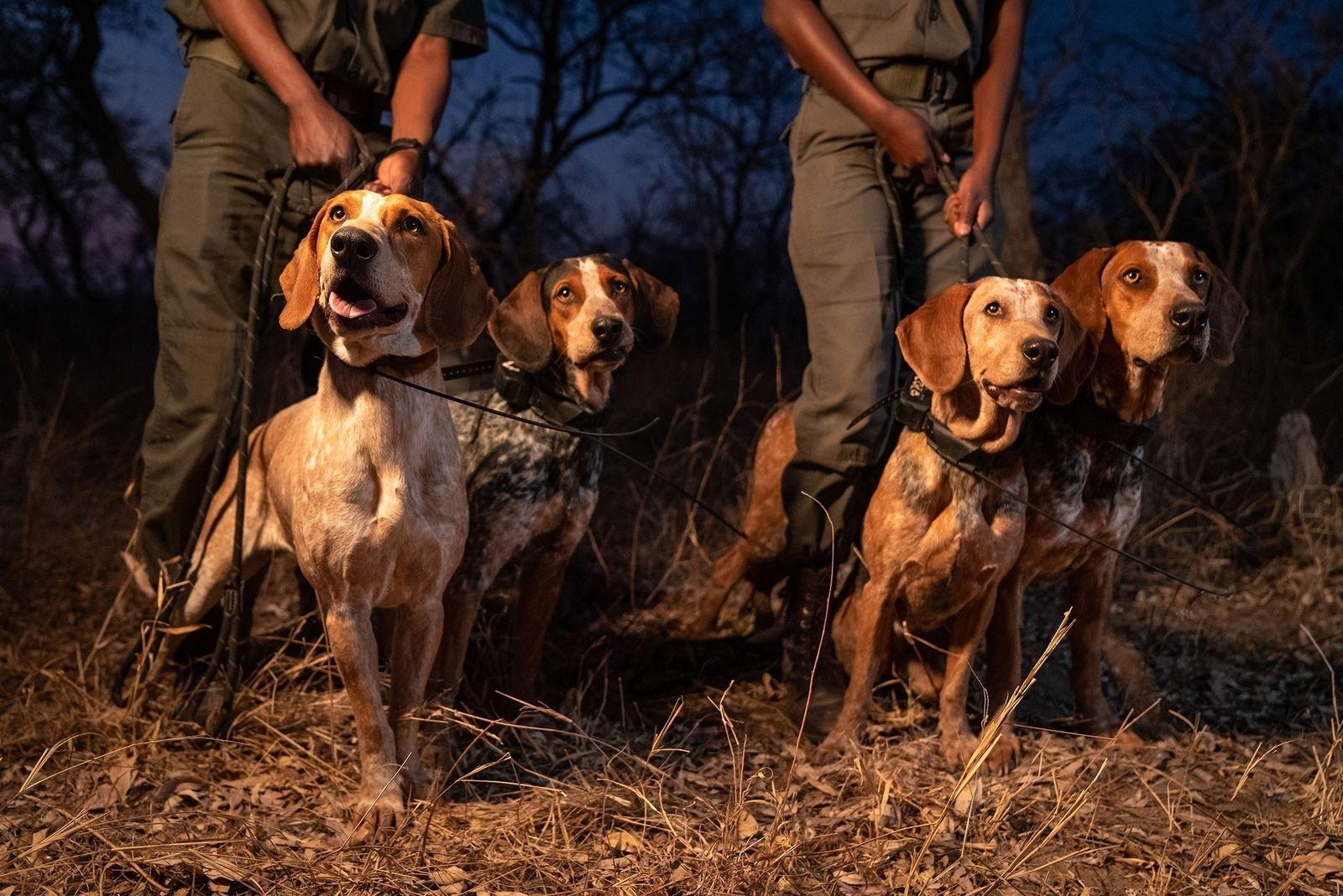 Wie texanische Hunde in Südafrika Jagd auf Wilderer machen