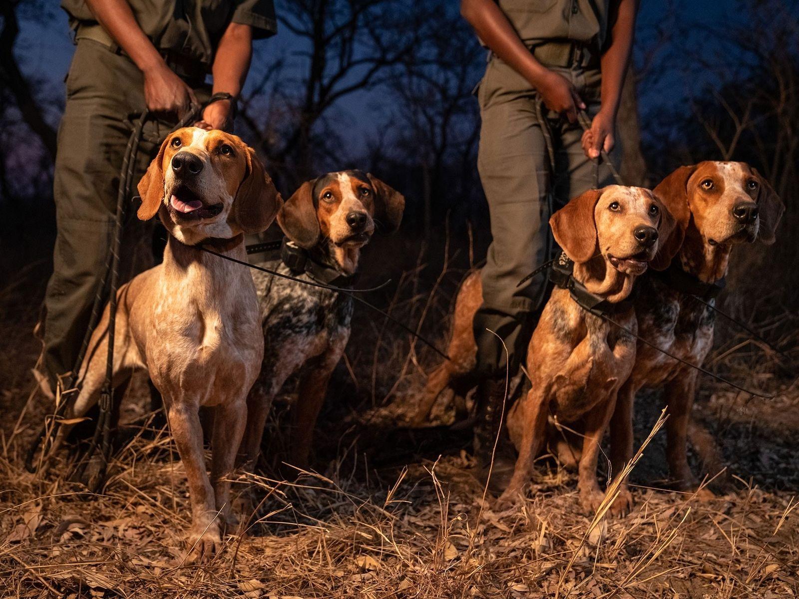 Jagdhunde aus Texas