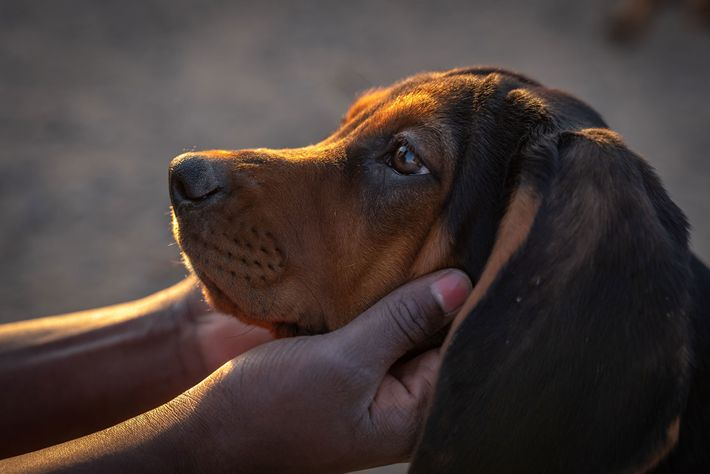 Welpe der Rasse Black and Tan Coonhound