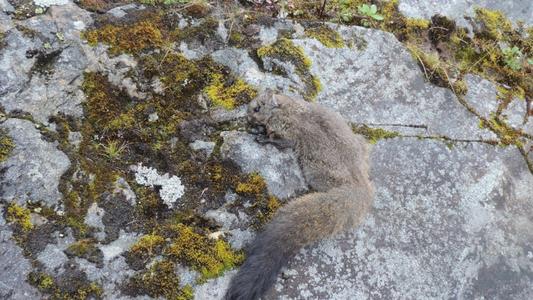 Überraschung im Himalaya: Zwei neue Gleithörnchen-Arten entdeckt