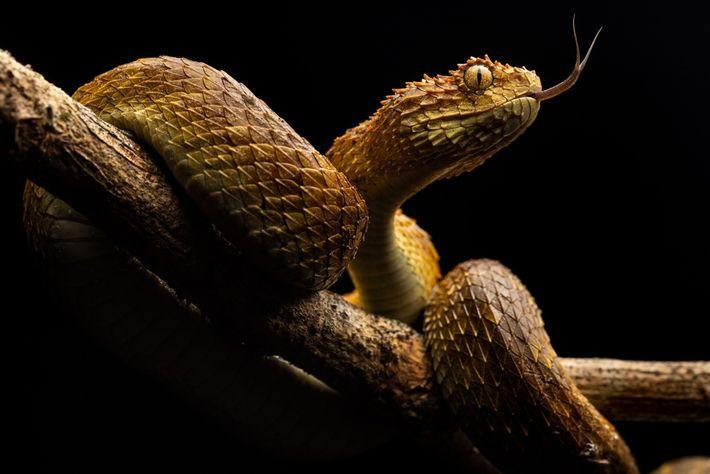 Eine züngelnde Buschviper nimmt Gerüche in ihrer Umgebung auf. Giftschlangen töten jedes Jahr etwa 30.000 Menschen ...
