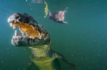 Jaguar vs. Krokodil