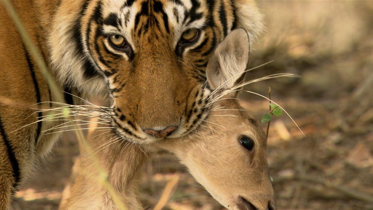 Machli - Die Tigerkönigin