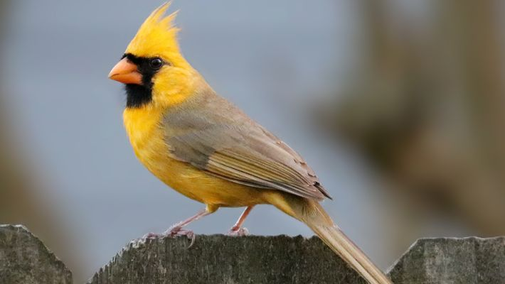 Gelber Kardinal gefilmt