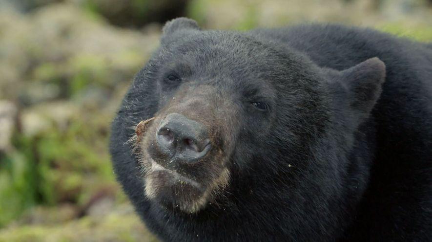 Bertie Gregory: Hungriger Bär