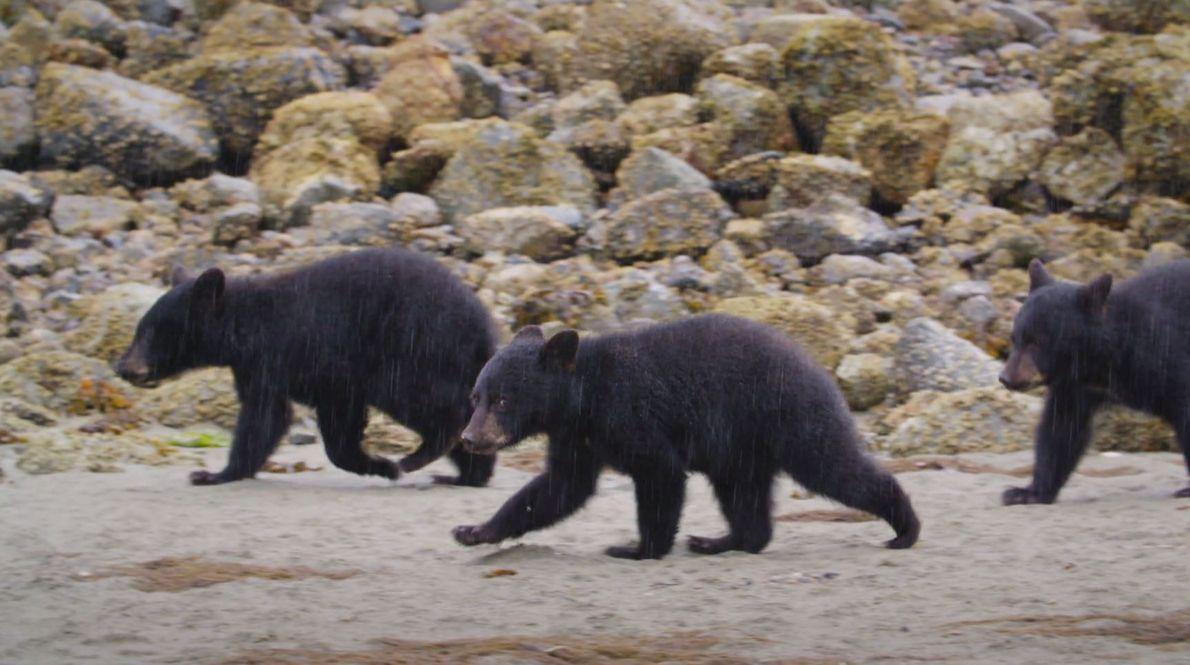 Bertie Gregory: Bärenbabys