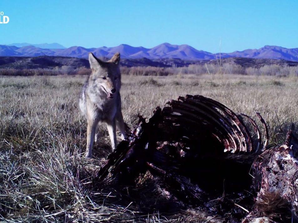 Untamed mit Filipe Deandrade: Kojoten