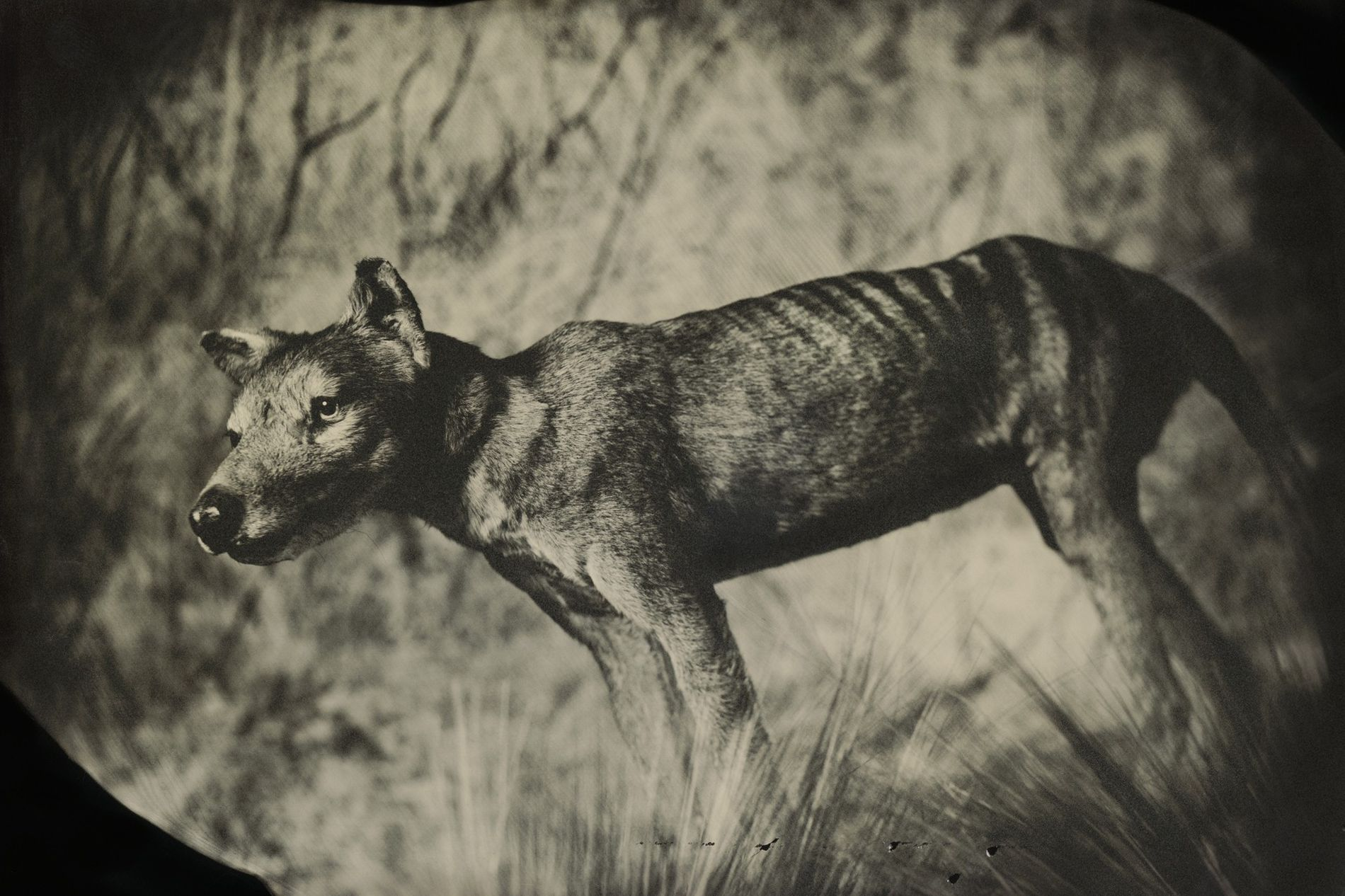 Der Beutelwolf war ein australisches Raubtier. Das letzte bekannte Exemplar starb 1936.