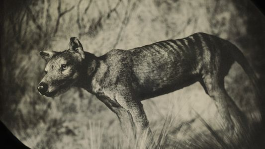 Sequenzierung des Beutelwolf-Genoms könnte erster Schritt zur Wiederbelebung sein