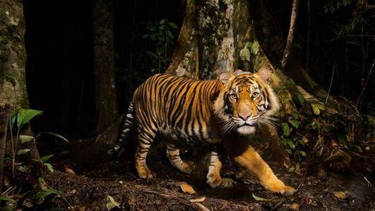 Der Ruf des Tigers