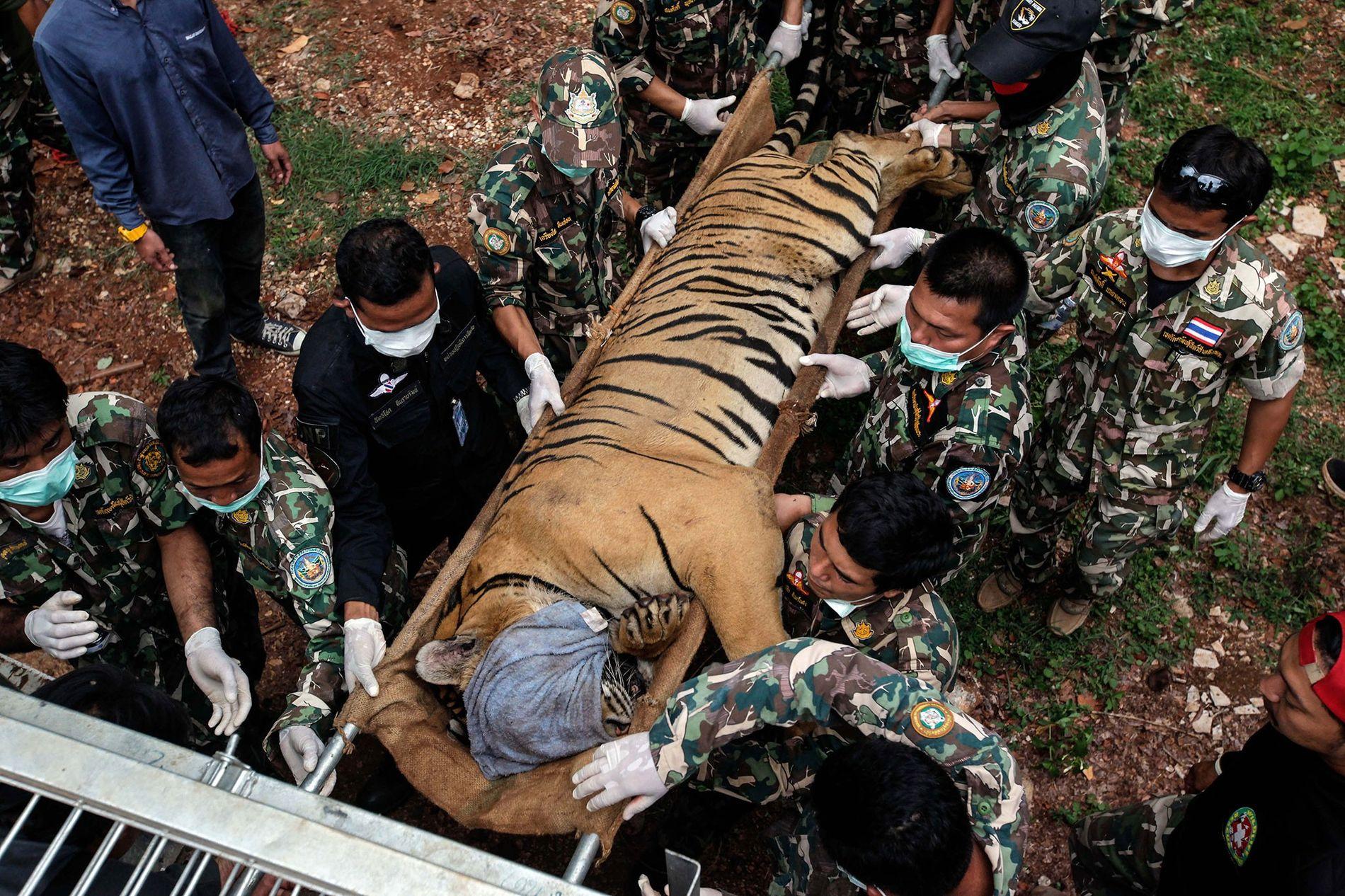 86 konfiszierte Tiger sind in Regierungsobhut verstorben