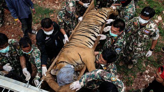 Toter Tiger Temepel Thailand