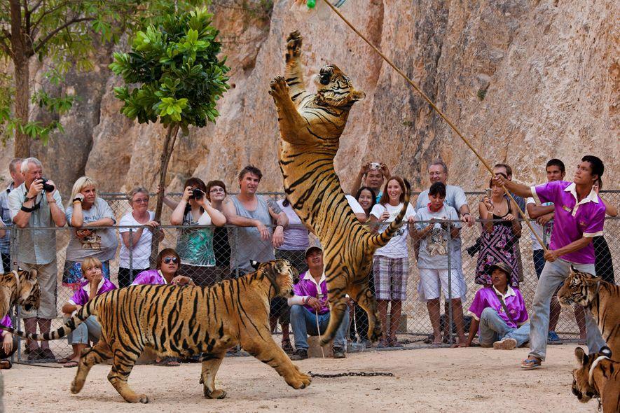 Die Tiger des berüchtigten Tempels lockten zahlreiche Besucher an, die sich mit den Großkatzen fotografieren wollten.