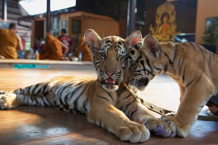 Besucher des Tiger Tempels zahlten Geld, um Jungtiere wie die beiden hier gezeigten mit der Flasche ...