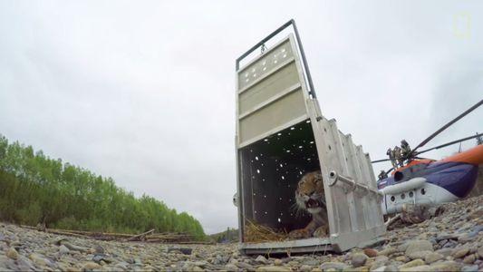 Der Tiger, der sich in eine russische Stadt verirrt hatte, wurde wieder ausgewildert