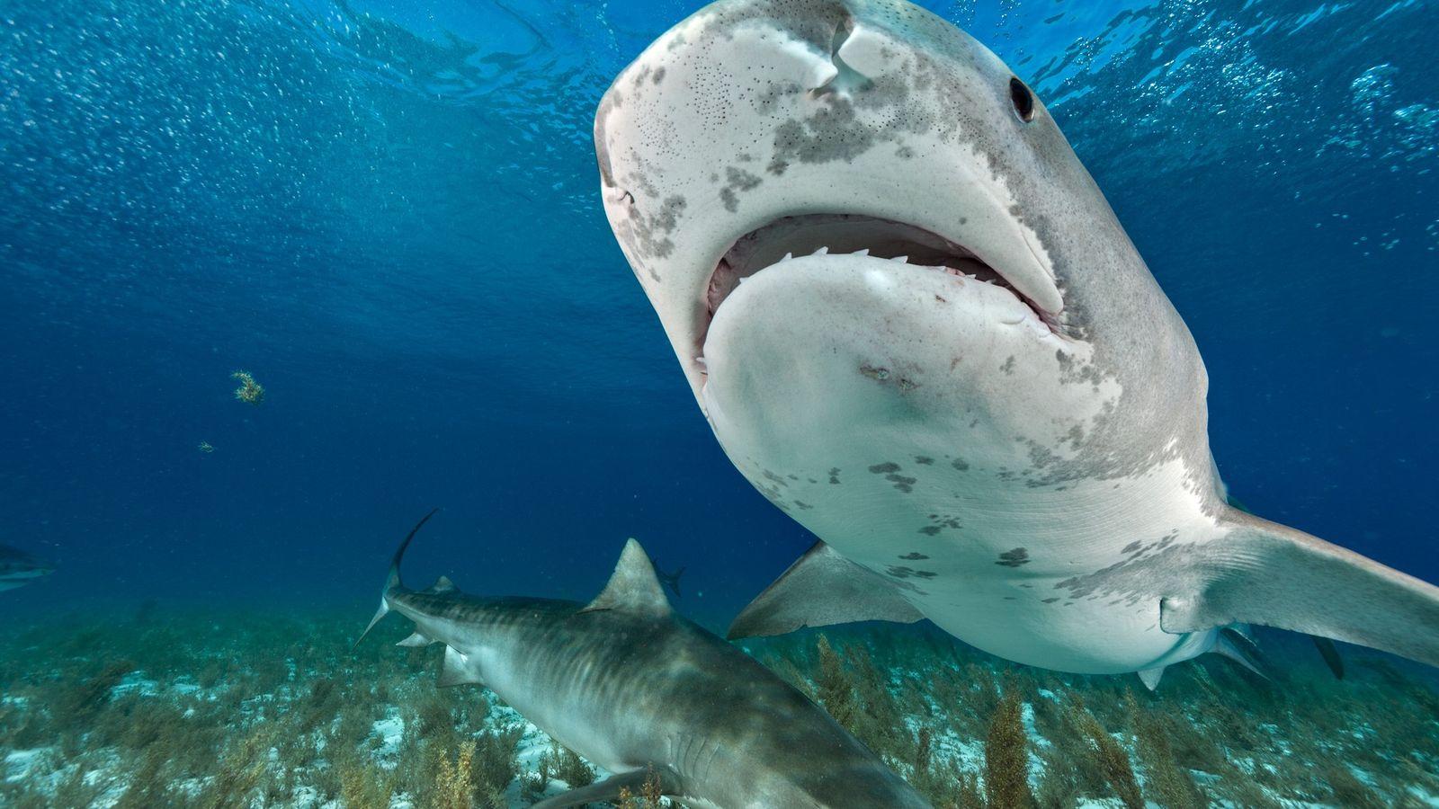 Tigerhaie durchstreifen die Gewässer im Norden der Bahamas.