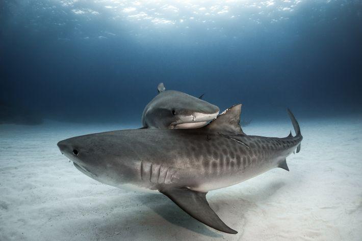 Zwei Sandtigerhaie schmiegen sich vor Grand Bahama aneinander. Die Spezies zeichnet sich durch ein komplexes Sozialgefüge ...
