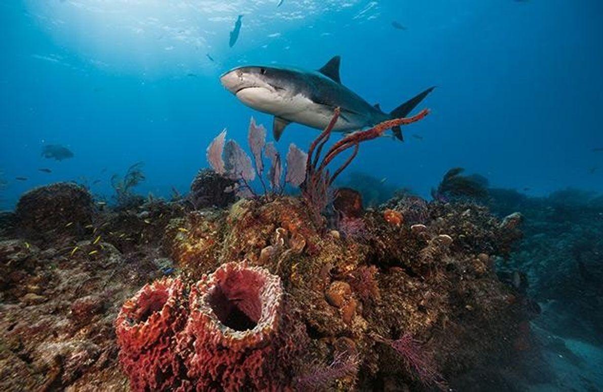 Biologen vermuten, dass Haie den Bestand der Pflanzenfresser kontrollieren, die sonst das Seegras-Ökosystem zerstören würden.