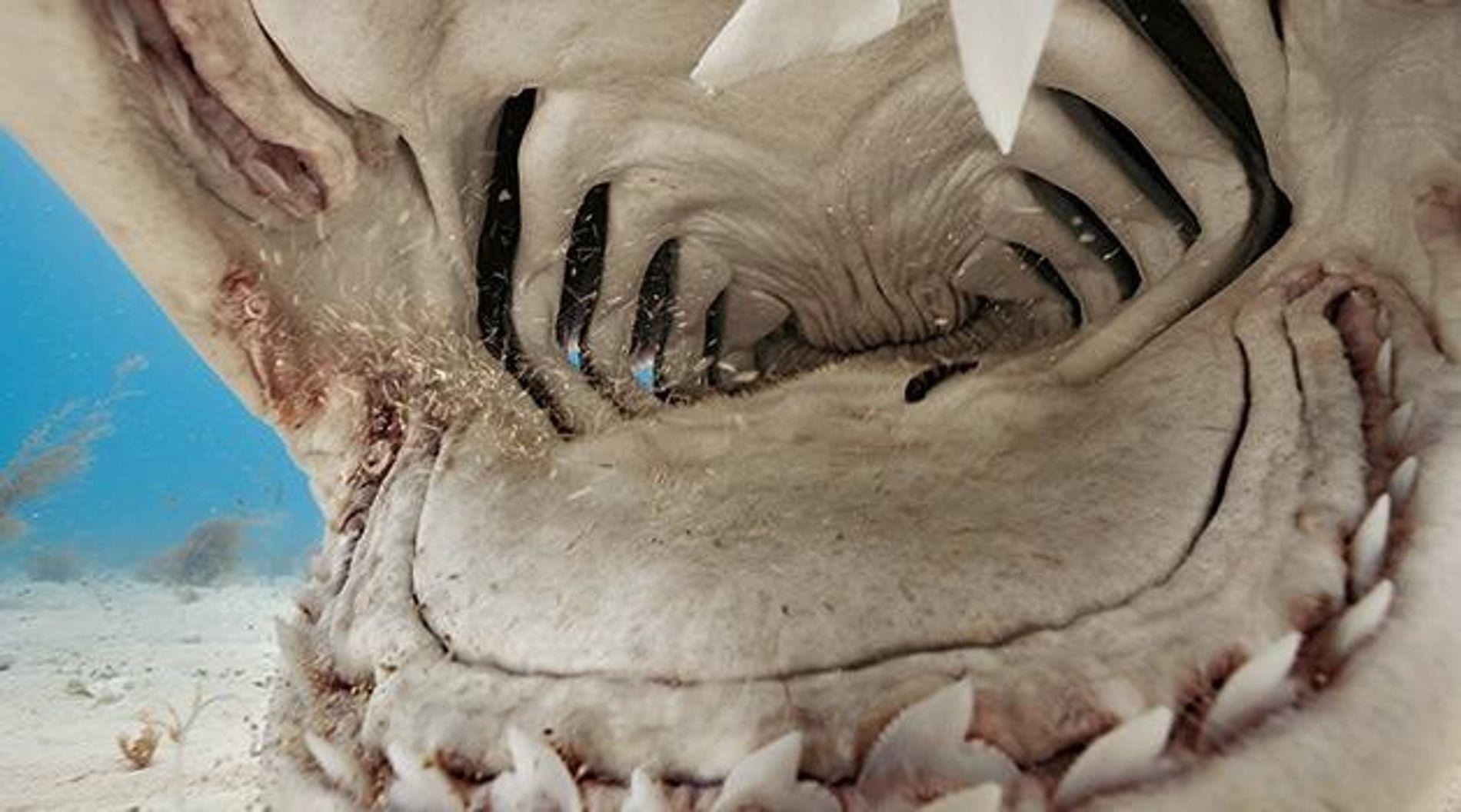 Mahlzeit! Die Zähne des Tigerhais sind besonders: Oben und unten fast identisch mit sowohl einer Schneide- ...