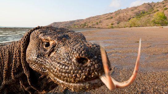 Komodowarane können bis zu drei Meter lang werden und mehr als 130 Kilogramm wiegen. Damit sind ...