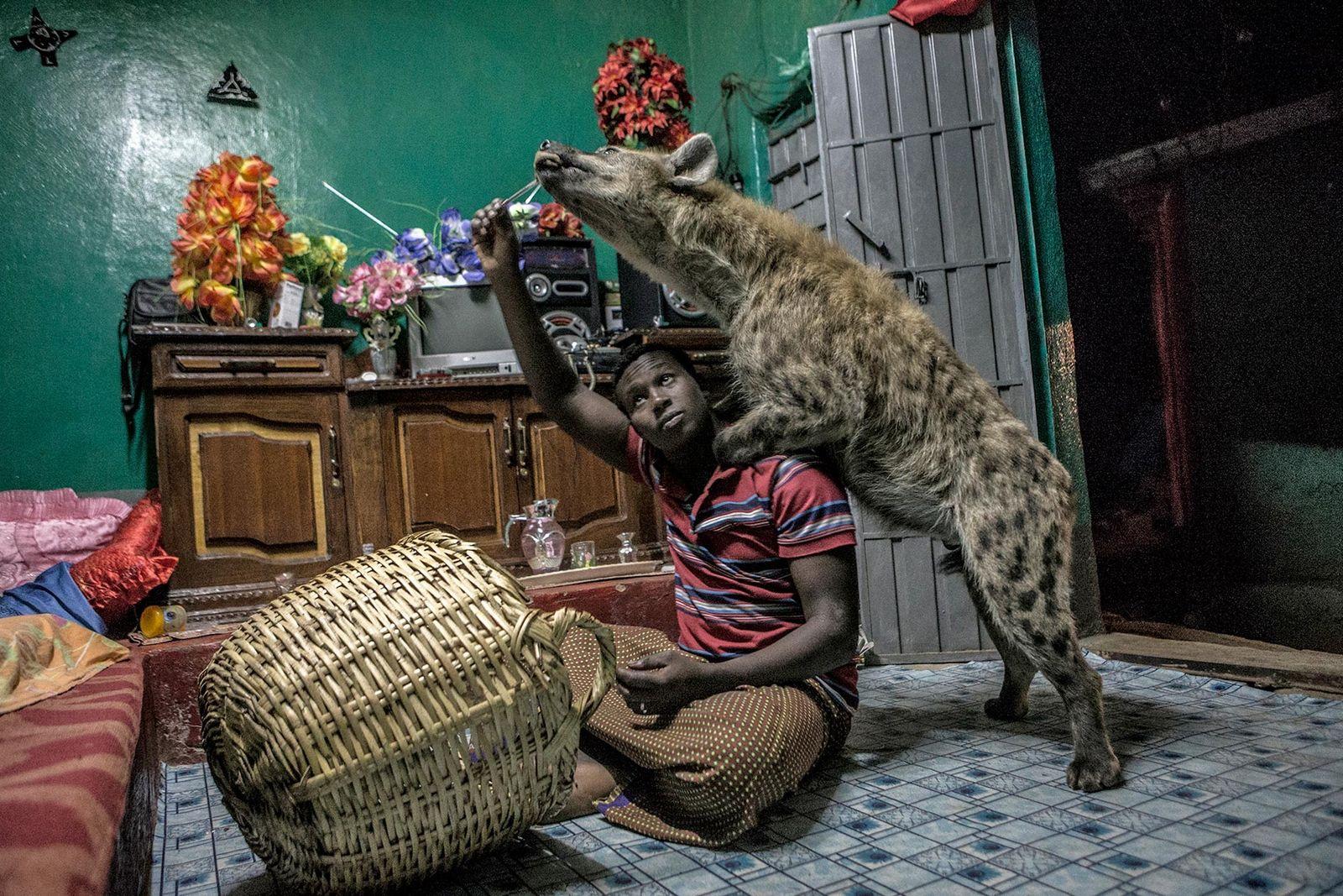 Hyäne und Mann in Wohnung
