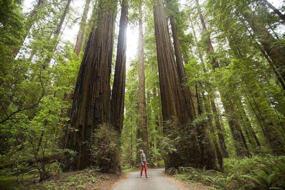 Der California Federation of Women's Club Grove befindet sich an der Avenue of Giants, einer Landschaftsstraße ...