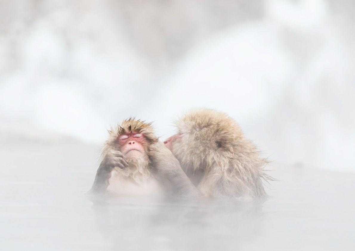 Zwei Japanmakaken haben sich vor der Kälte des Winters in eine heiße Quelle geflüchtet.