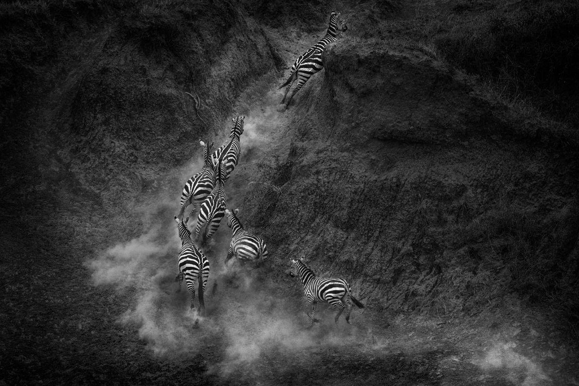 Eine Zebraherde läuft die Ufer des Mara in Kenia hinauf, an denen Krokodile lauern.
