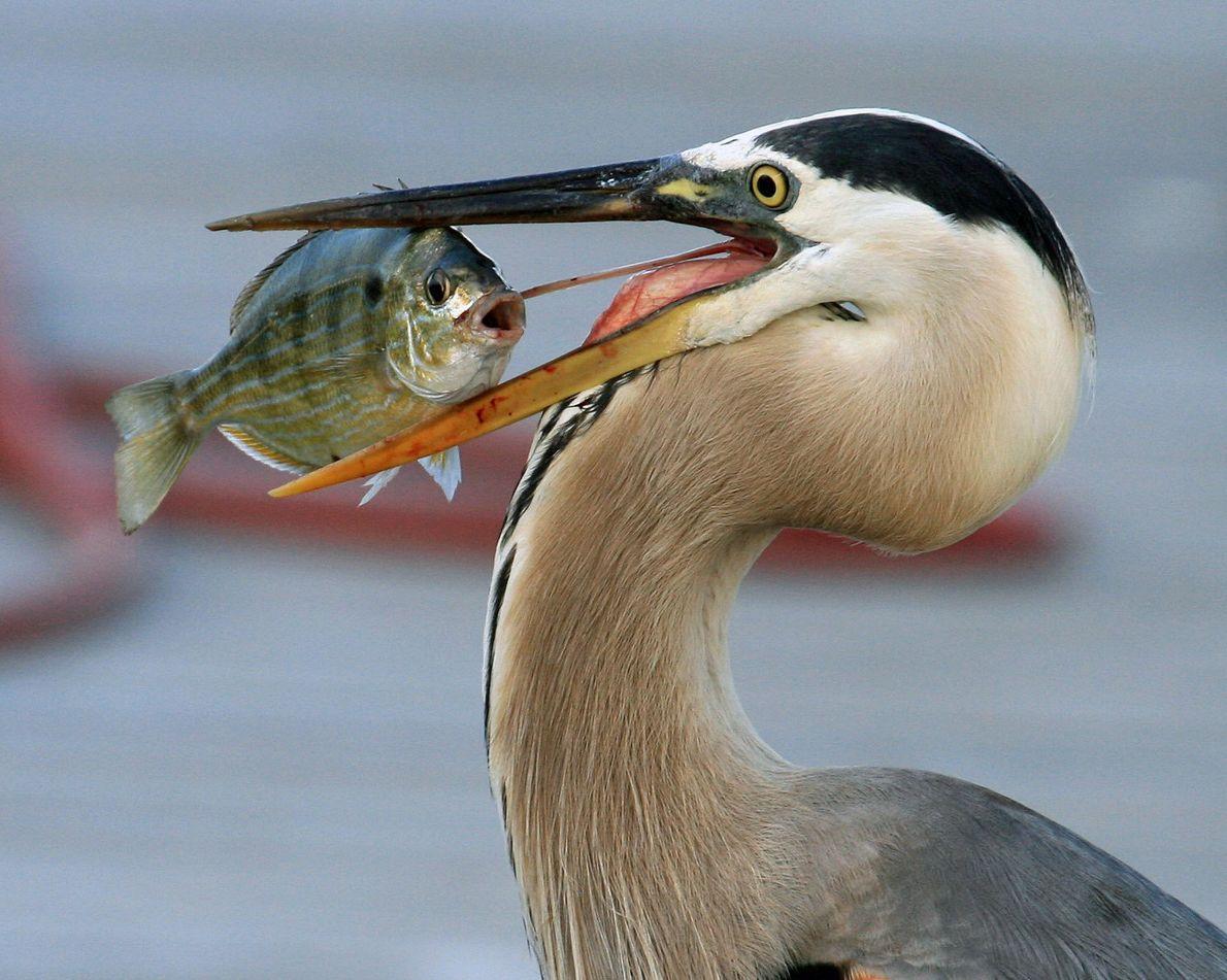 Ein Kanadareiher hat sich in Florida einen Fisch gefangen und hatte mehrere Minuten lang damit zu ...