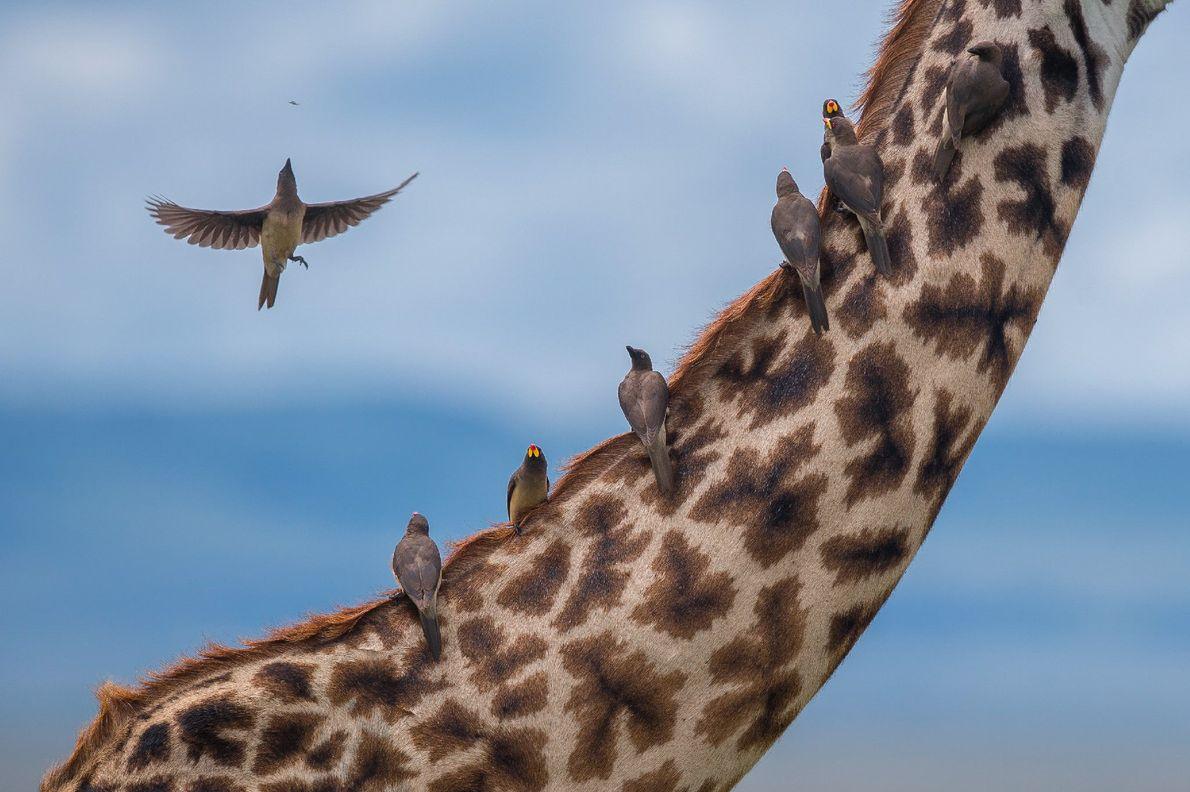 Ein paar Madenhacker sitzen auf dem Rücken und Hals einer Giraffe und picken Parasiten aus dem ...