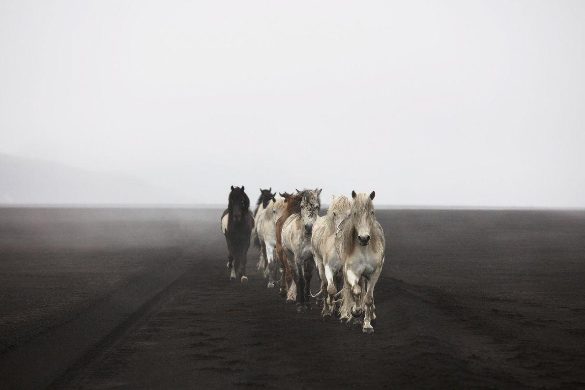 Eine Herde domestizierter Pferde streift durch die Landschaft Islands.