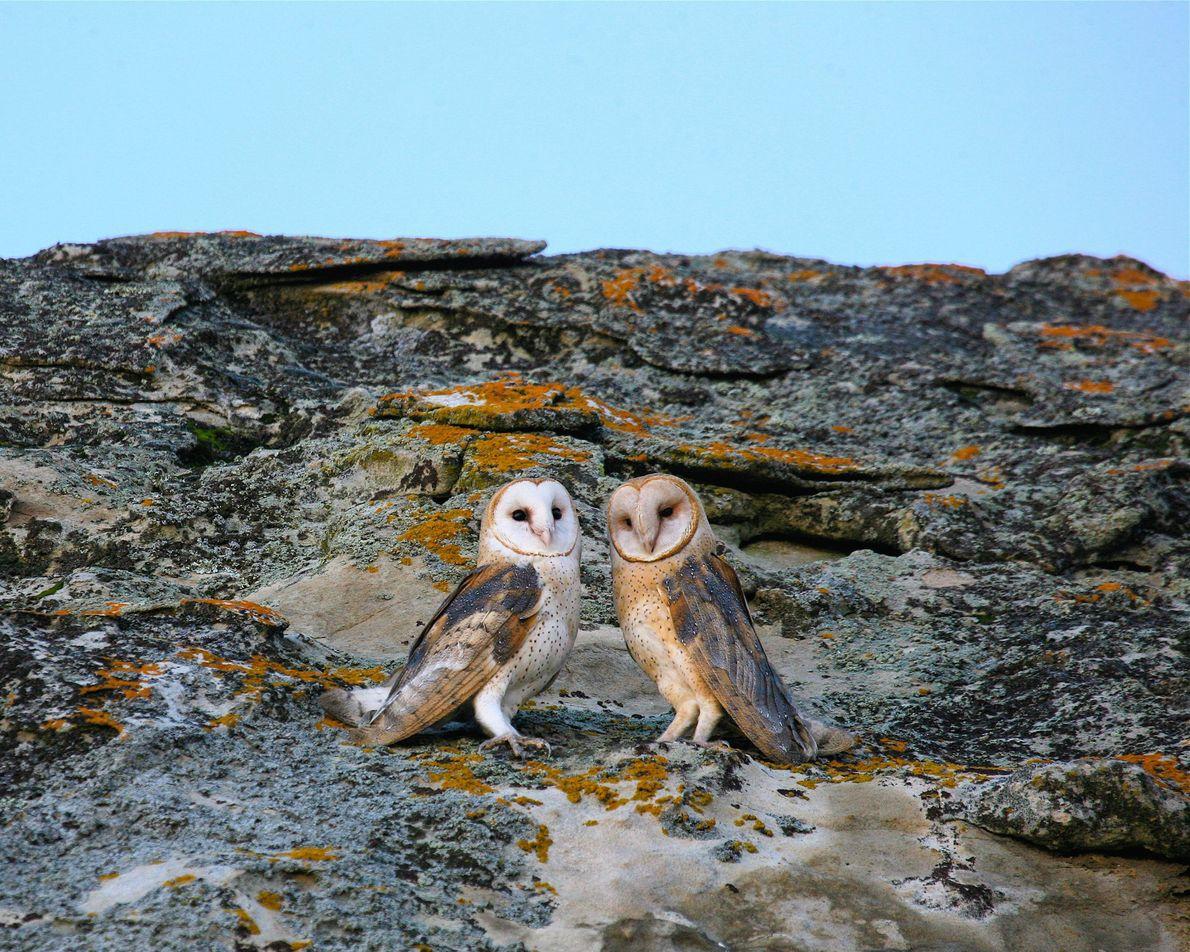 h Ein Schleiereulen-Pärchen sitzt im Carrizo Plain National Monument in Kalifornien auf einem Felsen.