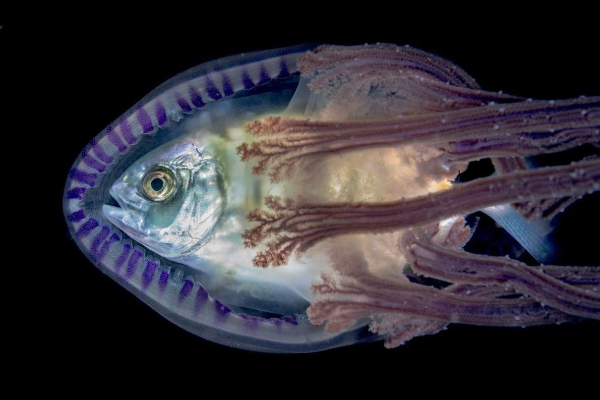 Wenn es kleinen Fischen an Verstecken mangelt, suchen sie manchmal in Quallen Schutz.