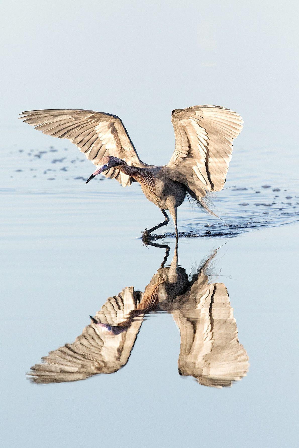 Ein rötlich-golden schimmernder Reiher landet im flachen Sumpfgebiet vor Merrit Island in Florida.
