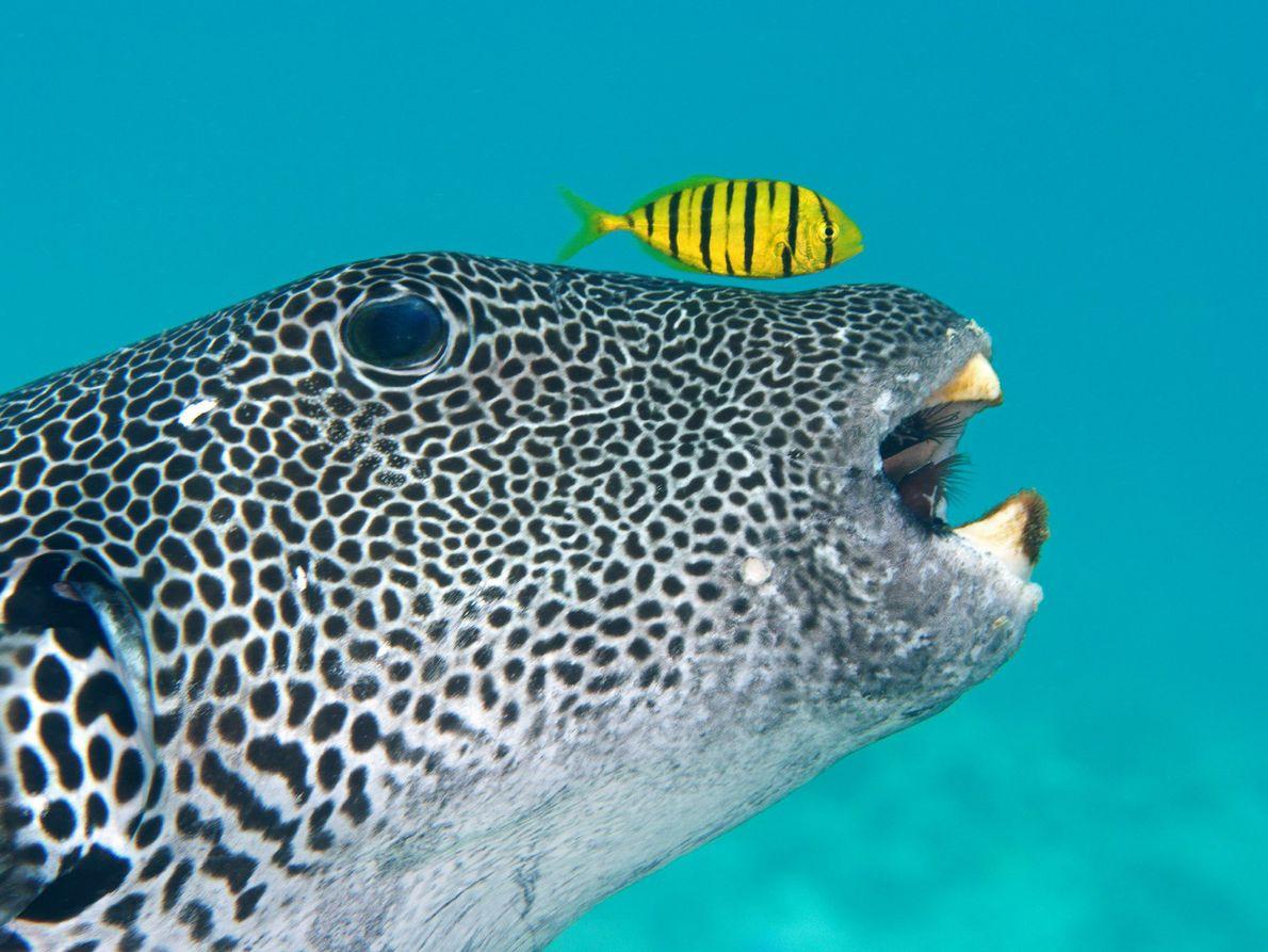 Ein Riesenkugelfisch und eine Schwarzgoldene Pilotmakrele suchen den Meeresboden nach Nahrung ab.