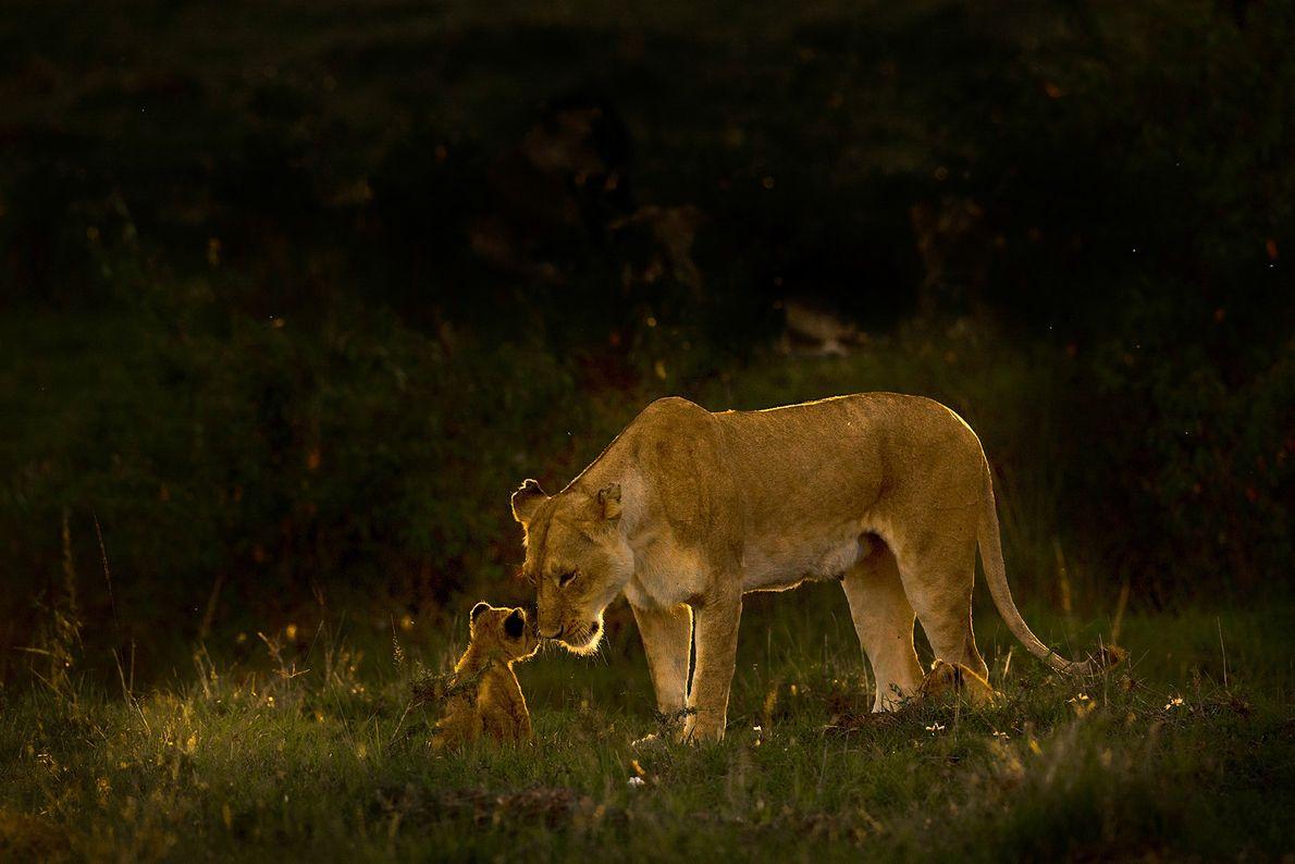 Eine Löwin kümmert sich zärtlich um ihren Nachwuchs.