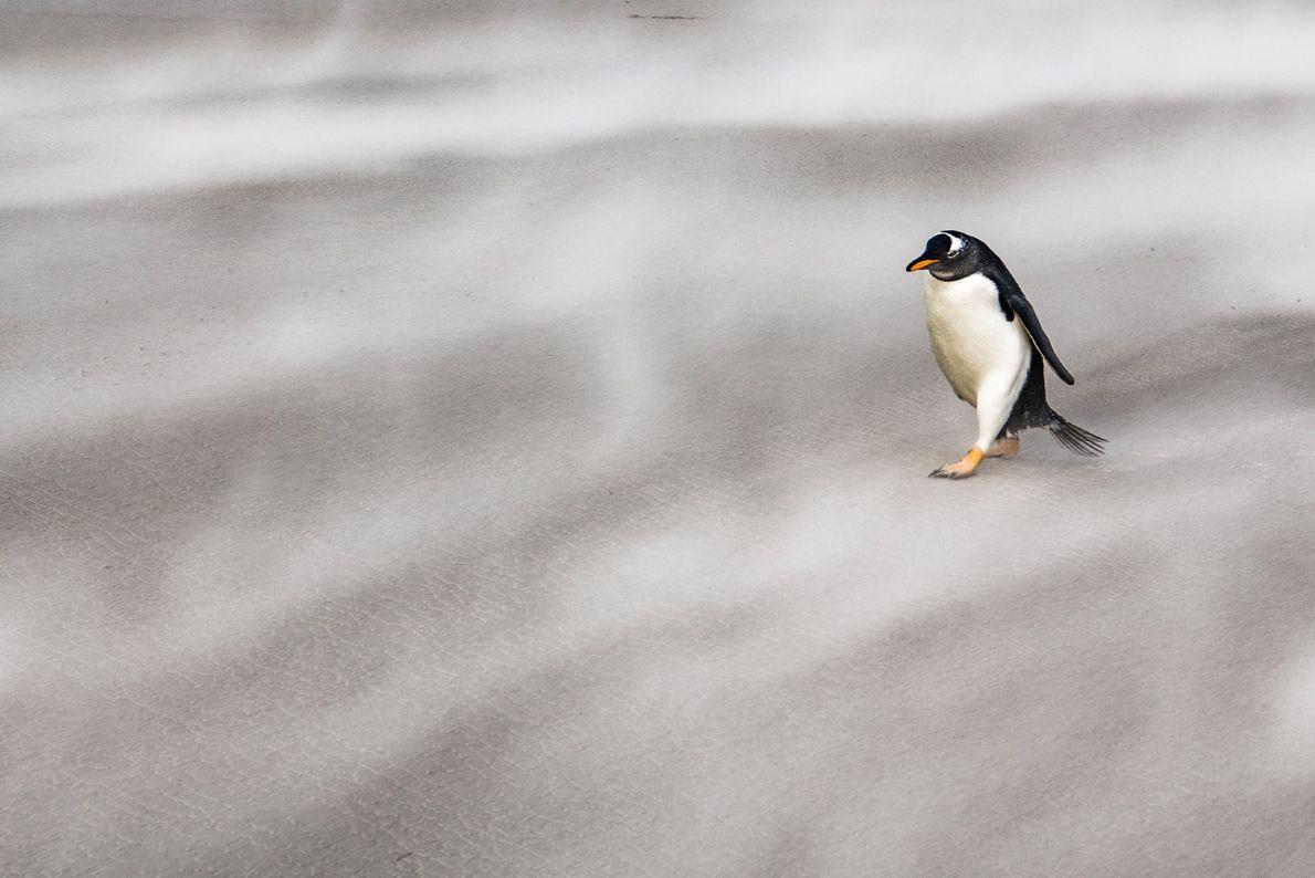 Ein einsamer Eselspinguin läuft gegen die eisigen Winde der Antarktis an.
