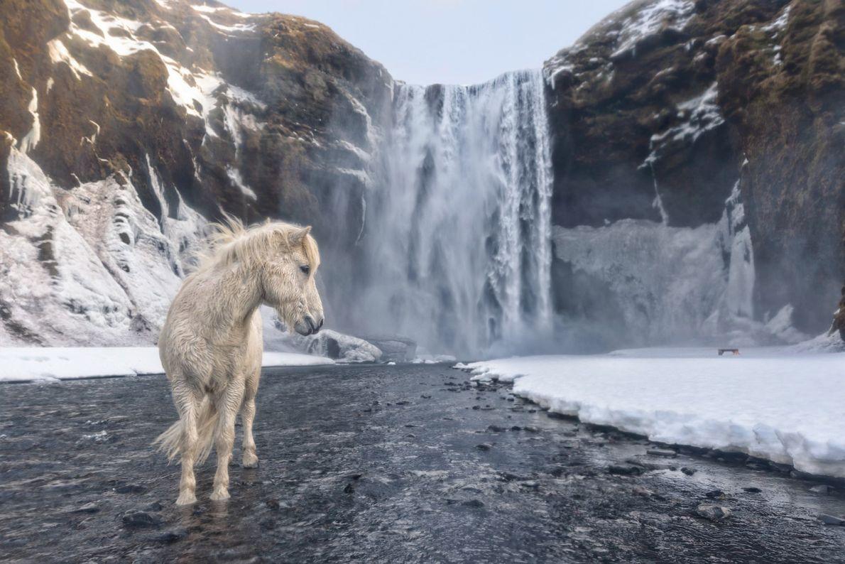 Ein weißes Pony steht im rauen Klima Islands vor dem Wasserfall Skógafoss.