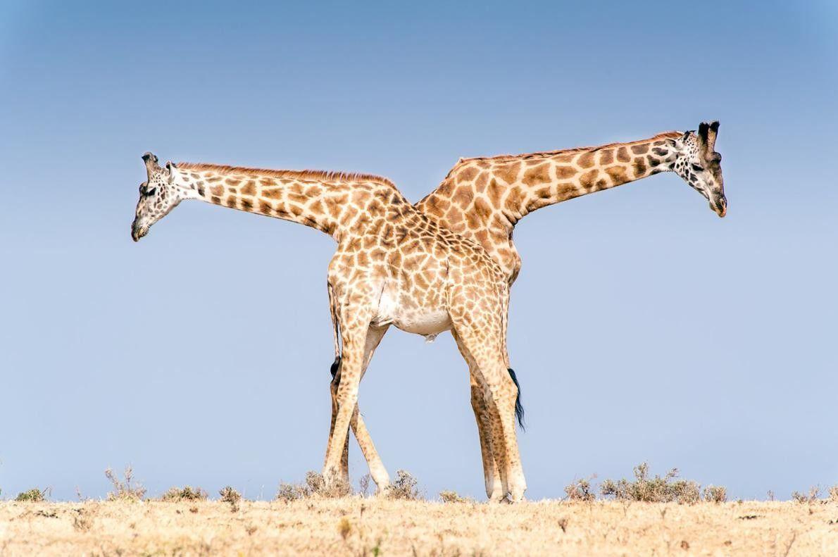 Partnerlook: Wenn ihr ohne Absprache dasselbe anhabt ...   Zwei Massai-Giraffen im Nationalpark Ngorongoro in Tansania ...