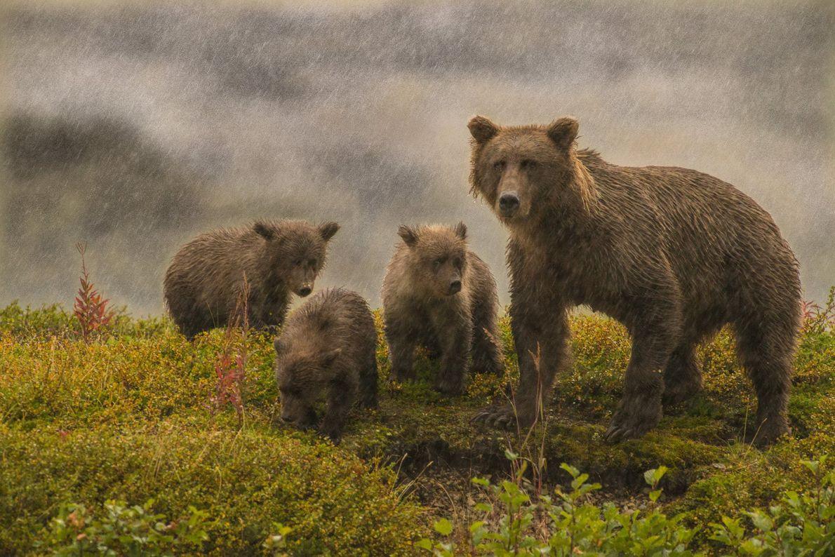 Diese Grizzly-Familie im Katmai-Nationalpark in Alaska war zu sehr mit der Nahrungssuche beschäftigt, um von dem ...