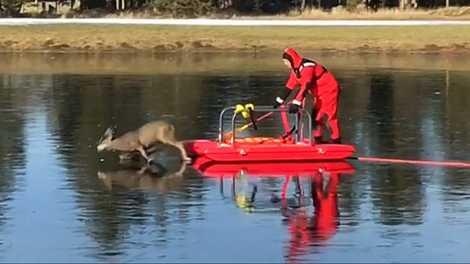 Gefangen auf dem Eis: Hirschkuh-Rettung mit Schlitten