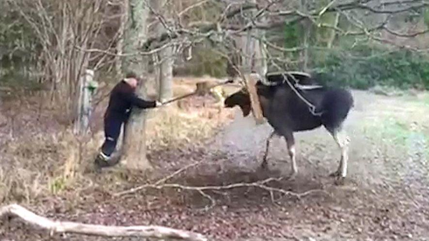 Schwede mit Säge befreit Elch aus misslicher Lage