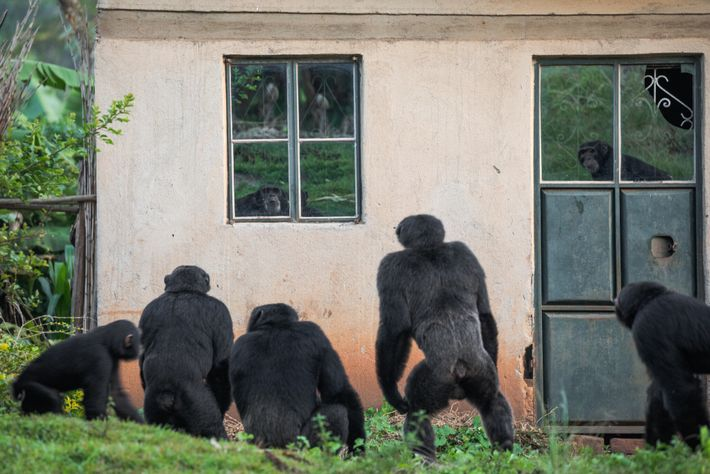 Rund um einige Dörfer im Westen Ugandas müssen kleine Gruppen von Schimpansen in kleinen Reststreifen ehemals ...