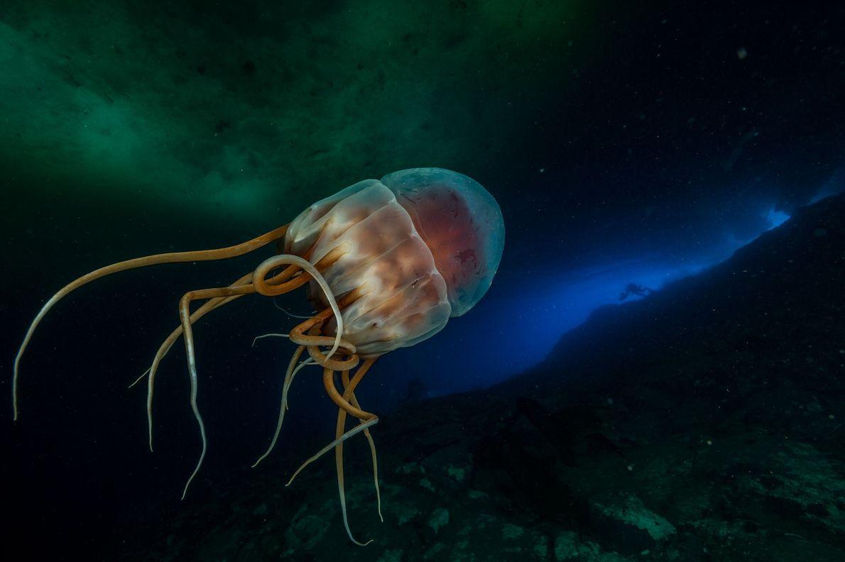 Eine biolumineszierende Kronenqualle mit einem Durchmesser von etwa 35 Zentimetern lässt sich in einer Tiefe von ...