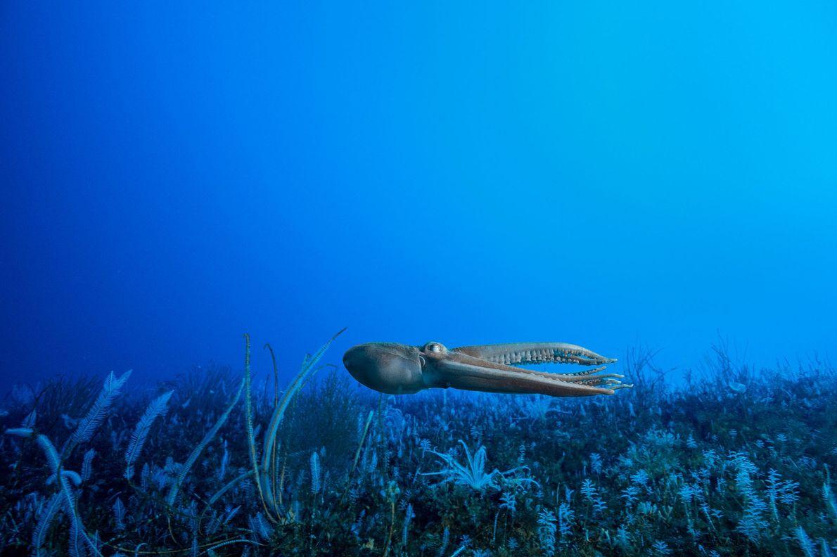 Ein Oktopus schießt quicklebendig über den Meeresgrund. In der Antarktis leben mindestens 16 verschiedene Arten von ...