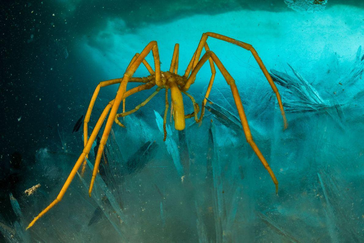 """Seespinnen sind ein weiteres Beispiel für geheimnisvolle """"Polargiganten"""": Andernorts sind sie winzig, aber diese hier in ..."""