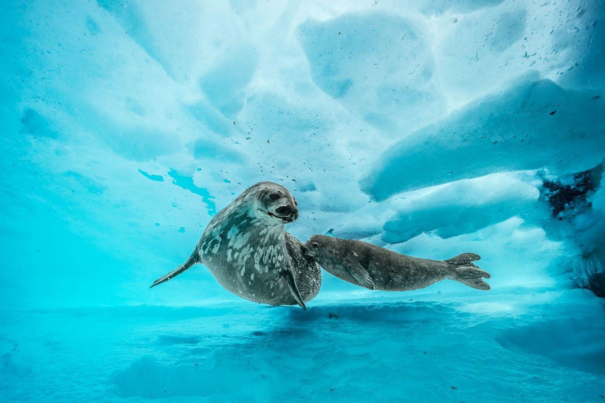 Eine Weddellrobbe begleitet ihr Jungtier auf einem Ausflug unter das Eis. Wenn das Junge ausgewachsen ist, ...