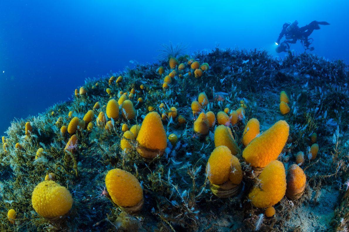 In mehr als 60 Metern Tiefe fest am Meeresboden verankert saugt dieses Weichtier Wasser ein, um ...