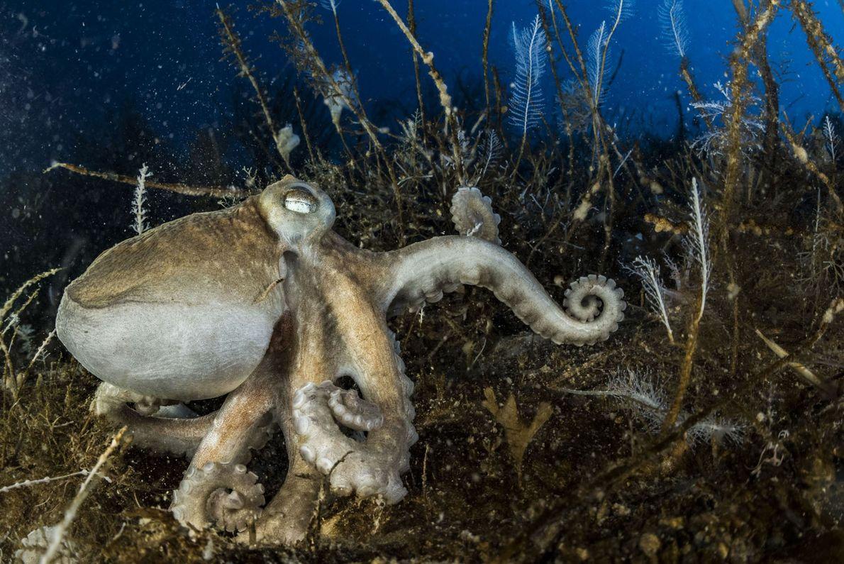 Ein Exemplar der 16 in der Antarktis vorkommenden Oktopusarten ruht auf dem Meeresgrund. Alle antarktischen Oktopusse ...