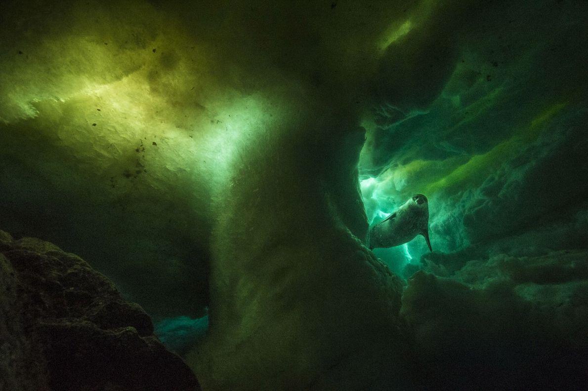 Eine Weddellrobbe schwimmt unter dem Eis entlang. Dies ist die einzige Säugetierart, die sich so weit ...